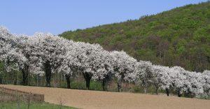 Mostbirn-Blüte